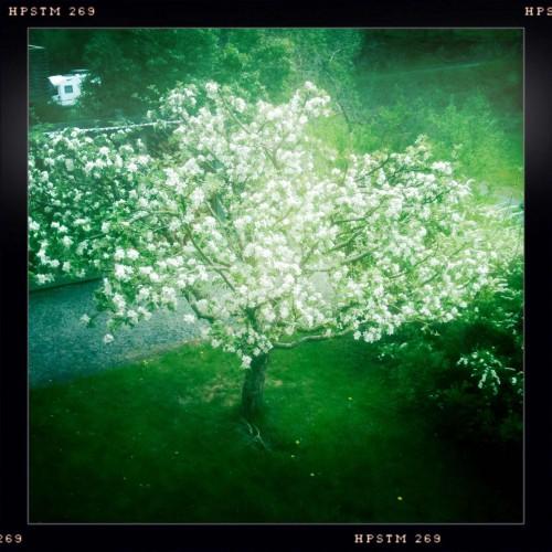 Drömsk äppelblom