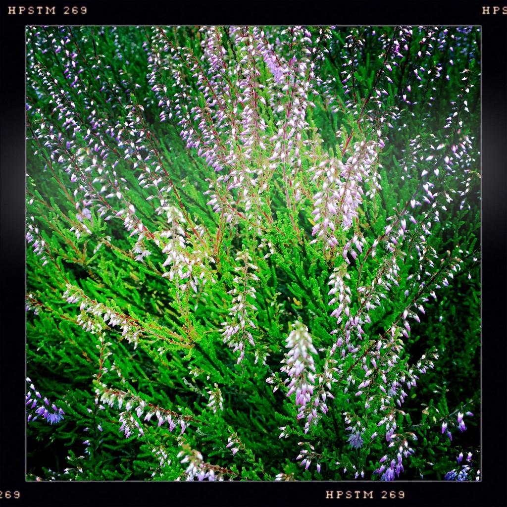 Blommande ljung